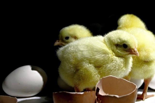 """""""卵からかえったひよこ"""""""